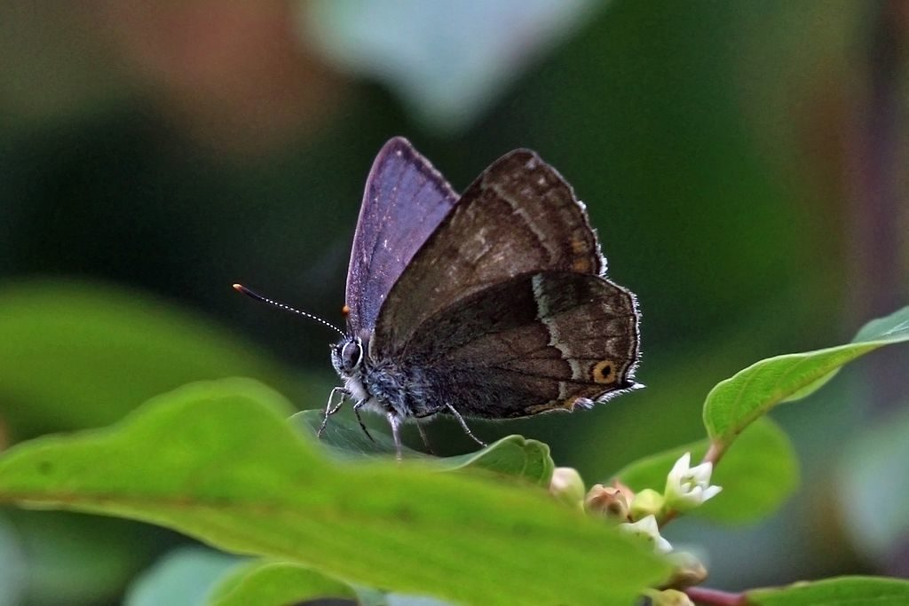 Purple Hairstreak Butterfly, male Alners Gorse, Dorset. © Charles J Sharp