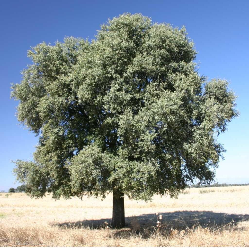 Holm Oak Quercus ilex rotundifolia