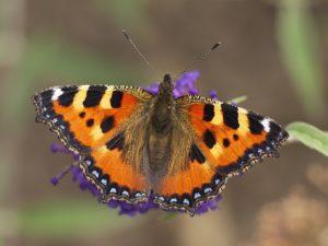 Small Tortoiseshell Butterfly photo © Jörg Hempel