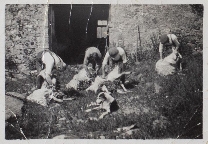 Photograph of sheep shearing at Ash Hill Farm, Bishopsteignton